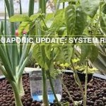 How We Revived our Aquaponic System