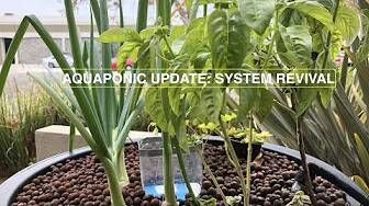 You are currently viewing How We Revived our Aquaponic System