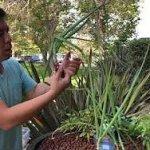 Aquaponic Shallot harvest