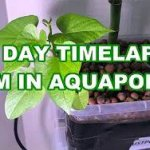 Yam in Aquaponics Timelapse – 11 Days